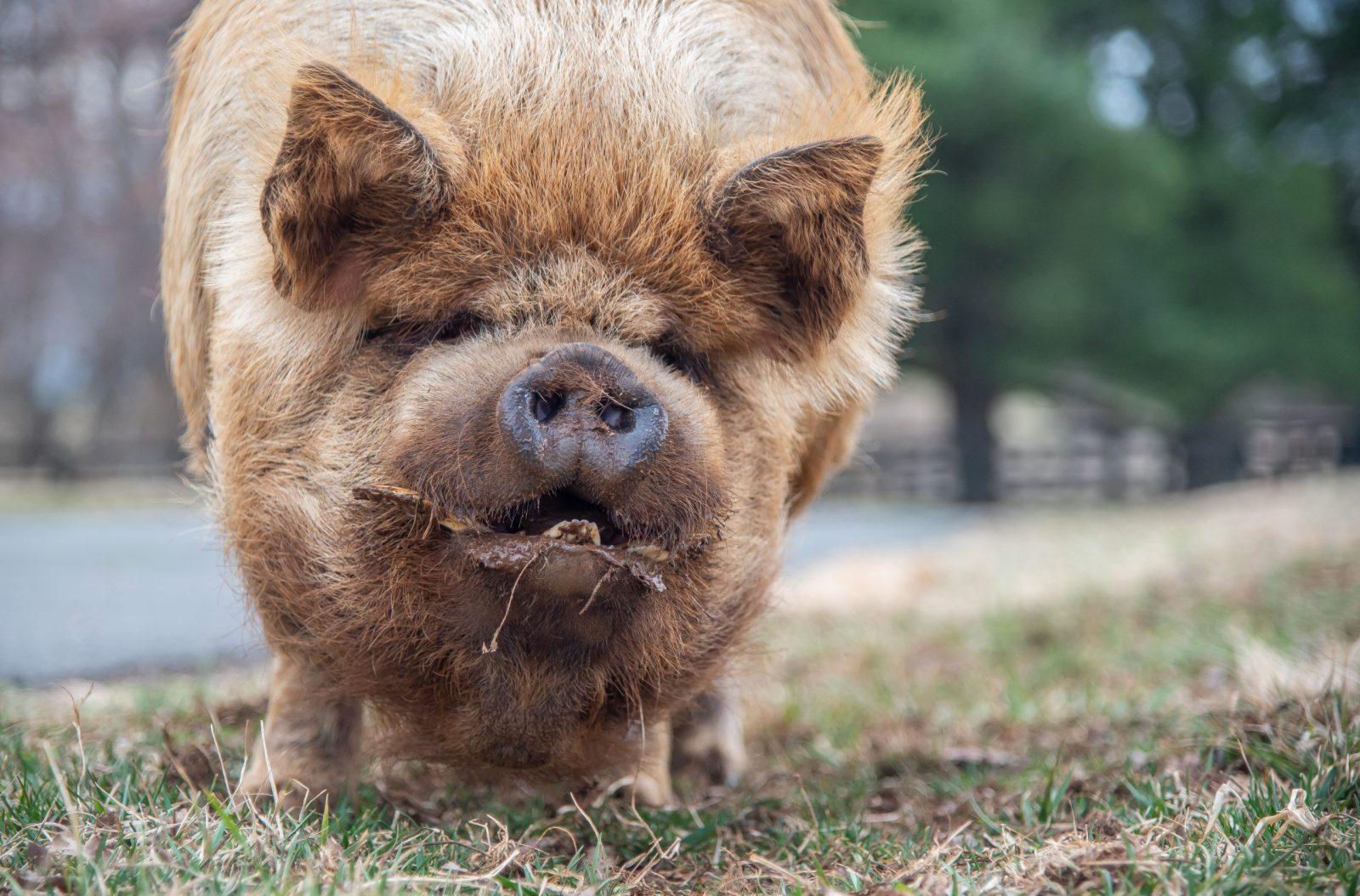Meet The Animals Pig The Mad Turkey Farm - Virginia Animal Rescue Farm